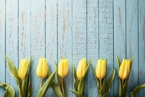 Yellow-Tulip-Flowers-on-Old-Blue-Wood-Season-Background-000060668160_Large-300x200